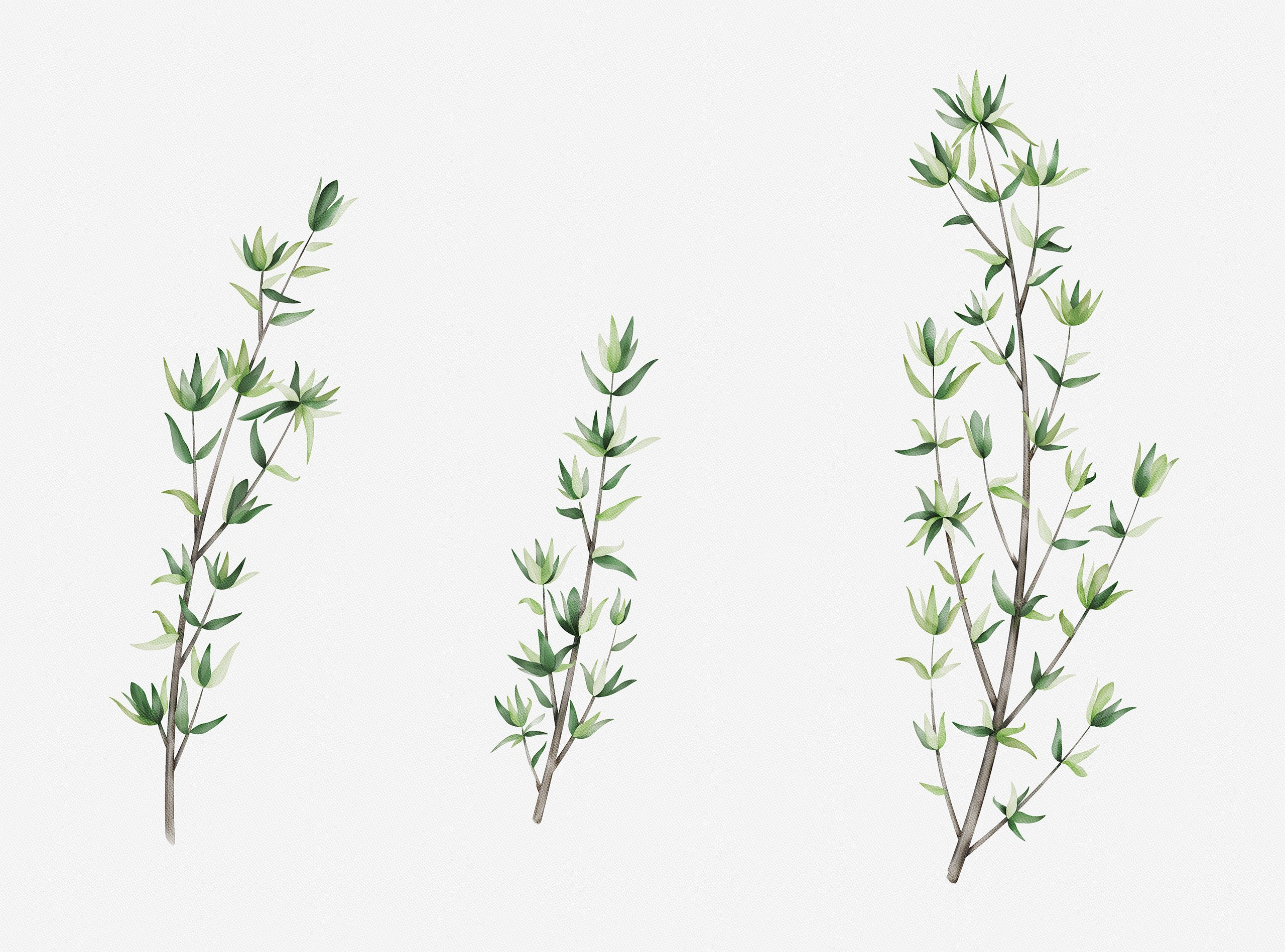 thyme watercolour illustration